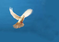 Free White Dove Royalty Free Stock Photos - 7812228