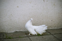 A White Dove Royalty Free Stock Image