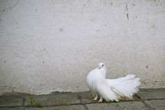 A white dove stock photo