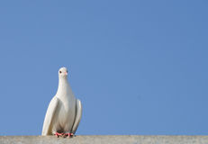 White Dove against the sky Royalty Free Stock Photography