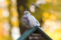 White dove on a background of autumn Stock Image