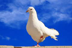 White dove on a background of blue sky Stock Images