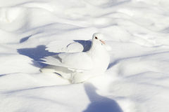 White dove bathed in fresh snow Royalty Free Stock Photos