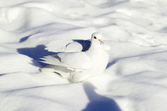 White dove bathed in snow Royalty Free Stock Photography