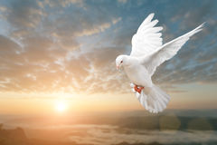 White Dove. On Beautiful sunset view Royalty Free Stock Photos