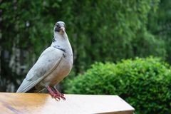 White dove on benches in the park. A white dove on a bench watches in a public park for people passing by in rainy weather royalty free stock photography