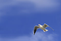 White dove blue sky. White dove flying with wings open against blue sky Royalty Free Stock Photos