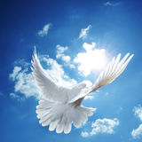 White dove blue sky. A white dove with wings spread, flying in a blue sky with white, fluffy clouds stock images