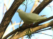 White Dove on a branch stock photography
