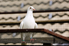 White dove in breeding cage Royalty Free Stock Photography