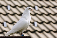 White dove on breeding cage Stock Photography