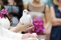 A white dove at bride's hands Royalty Free Stock Photo