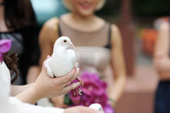 A white dove at bride's hands Stock Image