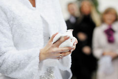A white dove at bride's hands Royalty Free Stock Photography