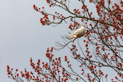 White Dove on Budding Branch. White dove perched on a tree with full budding branches Stock Image