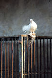 White Dove and Cage Stock Images