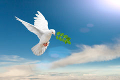 White Dove. Carrying leaf branch stock photos