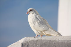 White dove and clear sky Stock Photos