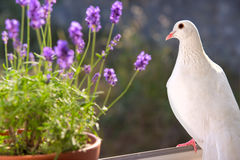 White dove closeup. Royalty Free Stock Photography