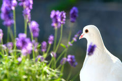 White dove closeup. Royalty Free Stock Images