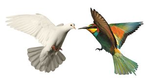 White dove and colored bird on a white background Stock Photos