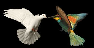 White dove and a colored bird on a black background Royalty Free Stock Photography