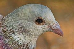 White Dove, Columba livia Royalty Free Stock Photography