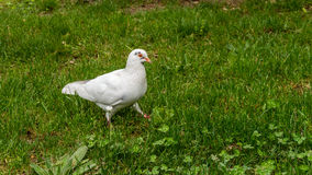 White dove. Curious white dove walking on the grass and inspecting stock photos