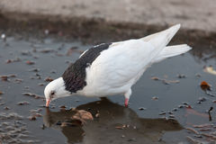 White dove drinks water Royalty Free Stock Images
