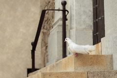 White dove at the entrance of the church royalty free stock photo