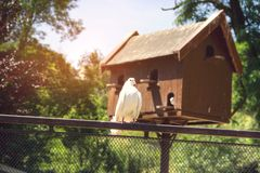 White Dove. On Fence with Pigeon House Stock Images