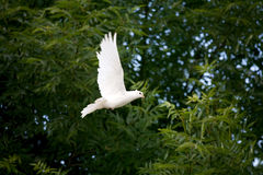 White Dove in flight. White dove caught mid-flight against the green of the trees in the background Royalty Free Stock Photo