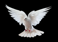 White dove in flight. With black background Royalty Free Stock Photos