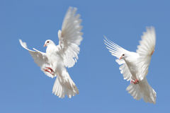 White dove in flight. Composite image of a beautiful white dove in flight. Two differing wing and body positions royalty free stock photos