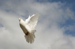 White dove in flight. Beautiful white dove in flight royalty free stock images