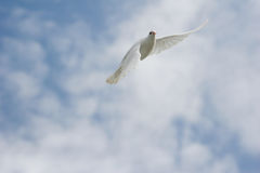 White dove in flight. Beautiful white dove in flight stock photos