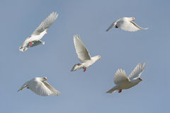 White dove in flight. Composite of a beautiful white dove flying, blue sky background. Five differing wing and body positions stock images