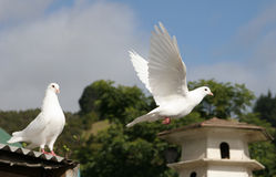 White dove in flight. Beautiful white dove flying away from his mate stock photography