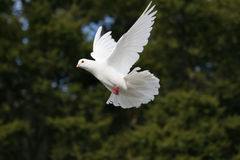 White dove in flight. Beautiful white dove flying,green trees in the background stock images