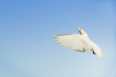 White dove in flight. Beautiful white dove flying, blue sky background royalty free stock photos