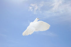 White dove in flight. Beautiful white dove flying up with nesting straw in her beak, blue sky background stock image