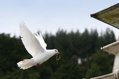 White dove in flight. Beautiful white dove flying into the dovecote with nesting straw in her beak stock photo