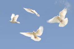 White dove in flight. Composite image of a beautiful white dove flying, blue sky background stock photos