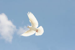 White dove in flight. Beautiful white dove flying, blue sky background royalty free stock photo