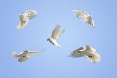 White dove in flight. Composite of a beautiful white dove flying, blue sky background. Five differing wing and body positions royalty free stock photography