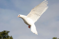White dove in flight. Beautiful white dove in flight royalty free stock photography