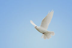 White dove in flight. Beautiful white dove in flight royalty free stock image