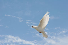 White dove in flight Royalty Free Stock Image