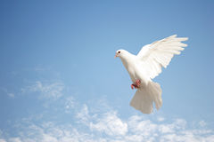 White dove in flight. Beautiful white dove in flight stock photography