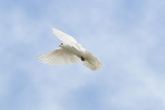 White dove in flight. Beautiful white dove in flight royalty free stock photos